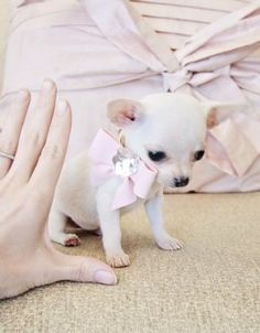 Micro Teacup teacup Chihuahua - This is about the size Sparkle was when she came to live with me! White Chihuahua, Teacup Chihuahua, Chihuahua Love, Chihuahua Puppies, Micro Teacup Puppies, Tiny Puppies, Cute Puppies, Cute Dogs, Cute Baby Animals