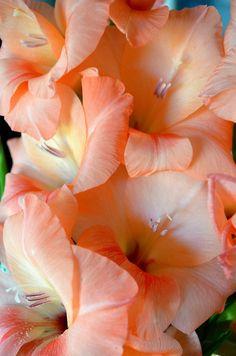 Lucious Peach - colored Gladiolus