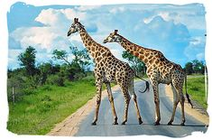 Kruger National Park in South Africa. This is ALMOST what I saw on our way out of the park. There was a giraffe on the side of the road. Really strange when you aren't used to seeing that. Haha!