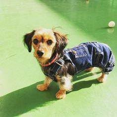 #dachshund #dachshunds #dog #doxie #doxies #pup #puppy #puppies #petstagram #pet #hotdog #adorable #ilovemydachshund #sausagedog #dogoftheday #TECKEL #Bassotto #minidoxie #weeniedog #weenie #wienerdog #instapet#pawsomedachshunds#crossbreed#chihuahua #yorkshireterrier #denim #lovemydog #fashion