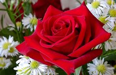 Good Night Wishes with Lovely Red Rose Wallpaper, Sweet greetings Hd Flowers, Rose Flower Wallpaper, Most Beautiful Flower Pictures, Night Blooming Flowers, Lily Flower Tattoos, Paradise Plant, Single Red Rose, Rainbow Roses, Planting Roses
