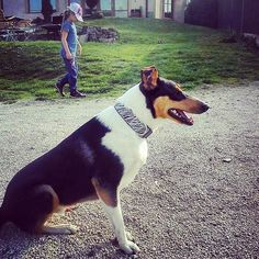 Spokojený zákazník | Pleased customer #colie #dog #collar #b&w #design #pet #blackberry #pes #obojek #mazlicek