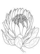 Flor de la Protea Dibujo para colorear