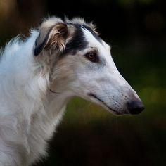 Borzoi- Classy dog. (aka Russian Wolfhound)