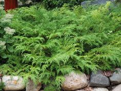 "Russian Cypress very hardy low and wide. Bronze to purple in winter. Full sun to full shade 12""X 8' deer resistant"
