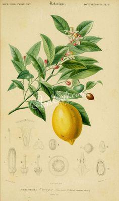 fruits-01485 - Lemon Citrus limonium Lemon tree Citrus limon vintage old botanical illustration picture image clipart branch leaves yellow           data-share-from=listing        >           <span class=etsy-icon