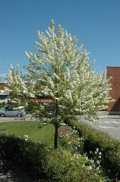 Pilvikirsikka | Lehtipuut | Agrimarket