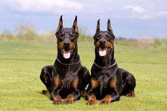 Doberman dogs: Super Smart Dog Breeds That'll Surprise You Loyal Dog Breeds, Smartest Dog Breeds, Loyal Dogs, Perro Doberman Pinscher, Doberman Dogs, Weimaraner, Dobermans, Rottweiler, Shetland Sheepdog