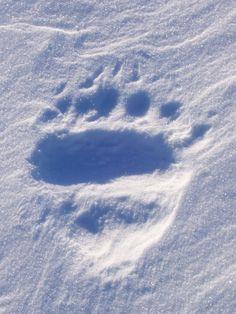 Polar Bear track in snow. Savoonga, AK