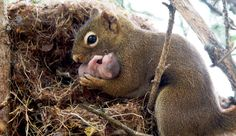 Squirrel Nest Falls From Tree ♡ Some landscapers knocked a squirrel nest to the ground by accident, it contained three babies. Luckily, mom squirrel came to the rescue. She made sure to find every one of her babies, she then put them in her mouth and moved them to a brand new nest keeping them safe. There is nothing more beautiful and stronger than the love of a mother.