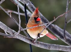 """Lady Cardinal"" by Kristina Austin Scarcelli."