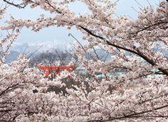 Mengenal Musim Semi di Jepang: Suasana Iklim, Wisata Khas, serta Pakaian yang Cocok