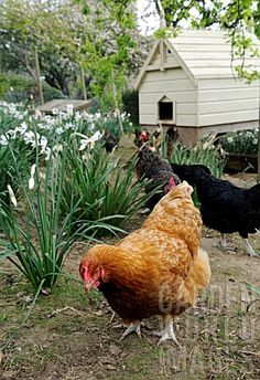 chickens in the garden ~ Loving this chicken coop in background...using old dog house!