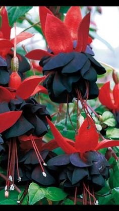 Fuchsia Hybrida Hort Seeds,Bonsai Lantern Flowers, perennial flower For home Garden,Flores Semillas