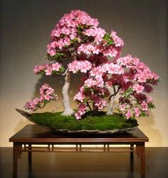 Of all the flowering bonsai, azalea are perhaps the best known. Amazing colors and styles, they are one of the most popular bonsai trees in Japan. Bonsai Plants, Bonsai Garden, Garden Trees, Bonsai Forest, Bonsai Styles, Miniature Trees, Succulents In Containers, Spring Colors, Ikebana