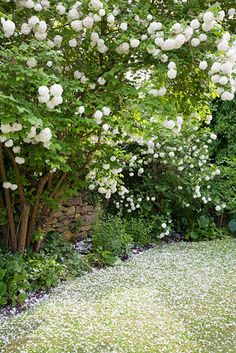 Viburnum opulus 'Roseum' next to wall in spring - © Abigail Rex/GAP Photos