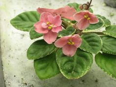 African Violet live plant MAC'S TANTALIZING