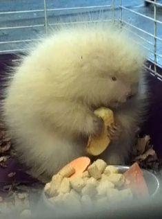 Rescued baby albino porcupine enjoying an apple slice