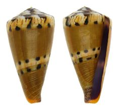 CONUS MUSTELINUS CONIDAE Specimen Sea Shell Picture (TS124978-PHILIPPINES - BOHOL ISLAND)