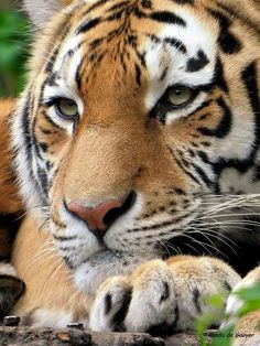 Unfortunately, tigers in captivity are often sad. This breaks my heart.
