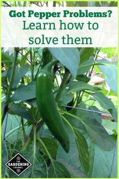 If you are planting peppers in your garden this year, you need to learn how to address the problems that can plague your peppers. Make sure your vegetable harvest is the most productive it can be. #gardeningchannel #gardening #vegetables