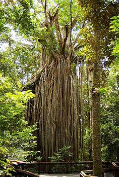 Curtain Fig Tree, Yungaburra, North Queensland, Australia. #curtainfigtree