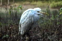The tired Egret.