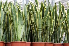 Looking for Snake Plant, also known as Mother-in-law's tongue , for your garden landscape? Find Sansevieria trifasciata Laurentii availability & prices online now. Sansevieria Trifasciata, Snake Plant Care, Mother In Law Tongue, Bathroom Plants, Plantar, Indoor Air Quality, Growing Plants, Houseplants, Container Gardening