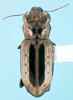 Carabid - Notiophilus semiopacus