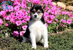 This loving Shiba Inu puppy has a sweet disposition and will make a fabulous family pet. Siberian Husky Puppies, Husky Puppy, Siberian Huskies, Puppies For Sale, Cute Puppies, Puppies Tips, Corgi Puppies, Equine Photography, Animal Photography