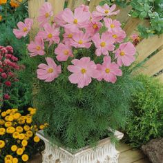 Cosmos 'Sonata Pink' - A Fleuroselect Novelty Award Winner