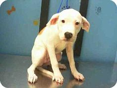 Houston, TX Facts about LAURA     Breed: American Bulldog Mix     Color: Unknown     Age: Puppy     Size: Small 25 lbs (11 kg) or less     Sex: F...