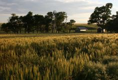 A wheat field in Trego County, Kansas. Photo by Neil Croxton
