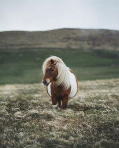 While traveling with Promote Shetland I may have already seen hundreds of Shetla… While traveling with Promote Shetland I may have already seen hundreds of Shetland ponies but this one is probably the smallest (I want to… - Art Of Equitation Most Beautiful Horses, Pretty Horses, Horse Love, Animals Beautiful, Poney Miniature, Miniature Ponies, Tiny Horses, Mini Pony, Cute Ponies
