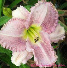 http://www.stardreamerdaylilies.com/daylilyimages/MarthasMemories.jpg