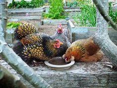 Keeping Your Chickens Healthy Through Winter