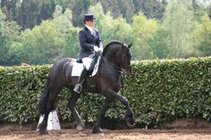 Friesian stallion, Rudmer N.  What a pretty boy!