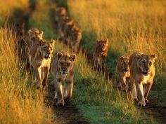 papel de parede Leões