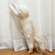 #gotcha ! 비누방울 놀이  . . . #bubbles #kitty #kitten #baby #babycat #cat #catstagram #catoftheday #catsofinstagram #instacats #instacat #meow #scottishfold #white #like4like #고양이 #냥스타그램 #캣스타그램
