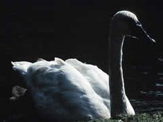 the swan is my animal spirit.. whats yours?