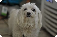 Spinner's Info...  Breed:Maltese MixColor:WhiteAge:Adult Size:Small 25 lbs (11 kg) or lessSex:Male ID#:13129 I am already neutered, housetrained, up to date with shots, good with kids, good with dogs, and good with cats.  Spinner's Story... I love attention and snuggling. I do not like other male dogs.