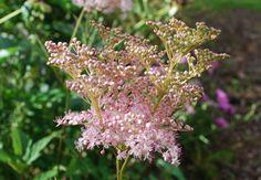 Filipendula rubra 'Venusta' - Amerikanskt älggräs - Preeriamesiangervo
