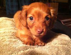 My little baby :) #puppy #love #dachshund #mini