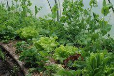 Plantas antagônicas e plantas companheiras: saiba combinar. Teia Orgânica. Fonte: Vale da Lama