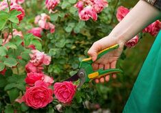 9 Steps to Pruning Roses the Right Way - Home and Gardening Ideas Pruning Roses, Rose Bush, Grow Out, Amazing Gardens, Floral Wreath, Good Things, Gardening, Simple, Ideas