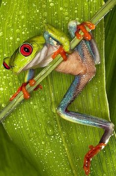 and reptiles.sooo pretty but scary. Funny Frogs, Cute Frogs, Beautiful Creatures, Animals Beautiful, Cute Animals, Baby Animals, Sapo Meme, Red Eyed Tree Frog, Frog And Toad