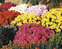 Les chrysanthèmes est une plante aux couleurs chaudes qui commence à être connu. Elle fait partie de ces fleurs qui savent décorer naturellement un espace.