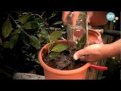 Φυσική καλλιέργεια - Βότανα και Υγεία: Φτιάξτε φυσική ορμόνη ριζοβολίας για τον κήπο σας
