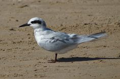 Gull-billed Tern  Gelochelidon nilotica  Fairly common permanent resident, more numerous in summer