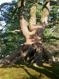"""Neagarinomatsu"" (Pine Tree) Kenrokuen, Kanazawa, Japan. photo by Angel Lahoz"